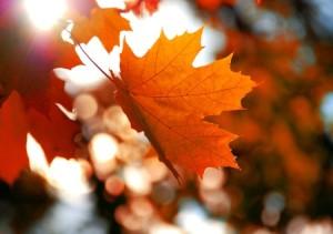 36226843 - yellow maple leaf